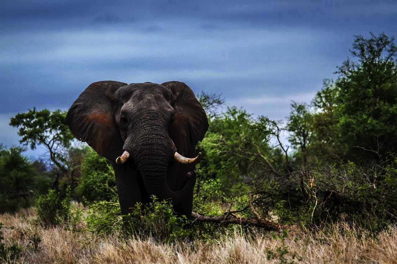 Forest Elephants In Danger With New Roads